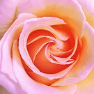 Pink Rose by Christine Wilson