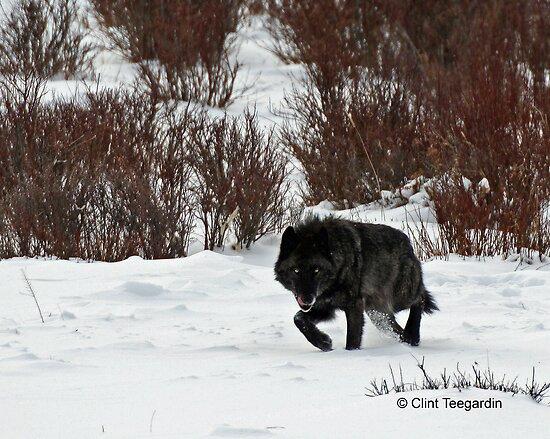 Casanova, wolf #302 by Clint Teegardin