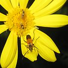 Trio of Bugs on a Daisy by jsmusic