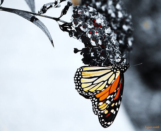 monarch by shootinglife