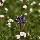 Douglas Lupine in a field of Popcorn Flower - Sierra Azul by Rebecca Sowards-Emmerd