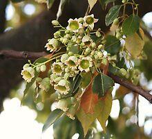 Kurrajong Blossoms by julie anne  grattan