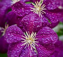 Dreaming of Clematis In The Rain by thatstickerguy