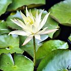 The White Lotus by Paul Cush
