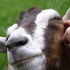 Goat - St Werburghs City Farm - No2 by David Sandilands