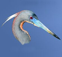 Tricolored Heron by Delores Knowles