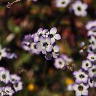 Birdseye Gilia - Sierra Azul  by Rebecca Sowards-Emmerd