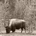 Bison in Yellowstone Park by rnrphoto98