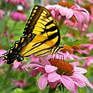 Tiger Swallowtail by Beverly Lussier