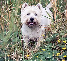 Winston the West Highland Terrier by ruthlessphotos