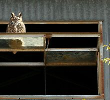 Great-horned Owl, Bubo virginianus by tonybat