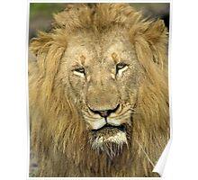 Close Up Lion Poster