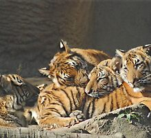 Malayan Tiger Cubs by Kathy Newton