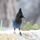 Stellar Stellar Jay by Candler Photography
