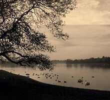 Watching the Swans - 2 by charlylou