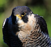 The Peregrine Falcon by Wing Tong