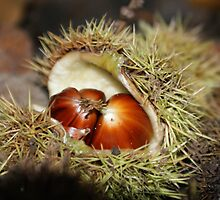 Chestnuts fallen from a tree by mrsquickers
