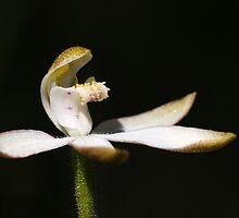 Musky Caps (Stegostyla gracilis) by Rosie Appleton