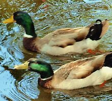 Duck pair by ♥⊱ B. Randi Bailey