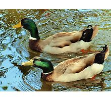 Duck pair Photographic Print