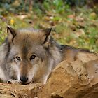 Resting Gray Wolf by Sandy Keeton