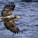 Eagle in Flight #2  by lanebrain photography