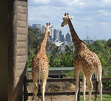 Giraffes checking out Sydney, Australia. by Lozzie5243