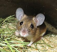 Kreta Spiny Mouse by SusiBloeck