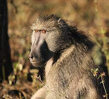 Male baboon by Jo McGowan