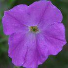Purple Petunia by mollywog