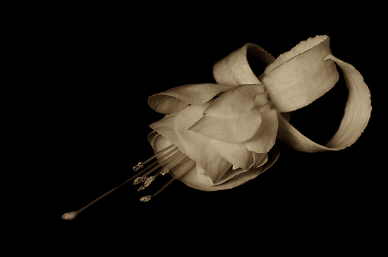 Fuchsia in sepia tone by Jeffrey  Sinnock