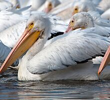 Pelicans by Bonnie T.  Barry