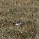 Another curlew by Sharon Perrett
