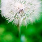 dandelion by sara montour