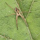 Nursery Web Spider by kernuak