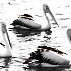 Pelicans on the water by LividPhoto