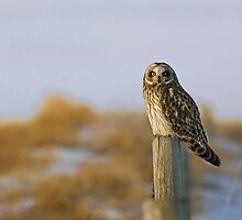 Short-eared owl by Philippe Widling