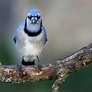 Blue Jay by Jim Cumming