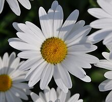 white daisy by cetrone