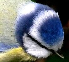Blue Tit  Up Close by mikebov