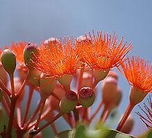Flowering Gum by Chris Kiely