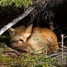 Lay Me Down to Sleep Little Fox by lloydsjourney