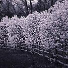 Magnolias by Yuri Lev