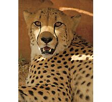 Cheetah (Acinonyx jubatus) Photographic Print