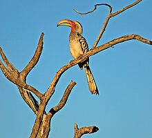 Southern Yellow-billed Hornbill (Tockus leucomelas) by Konstantinos Arvanitopoulos