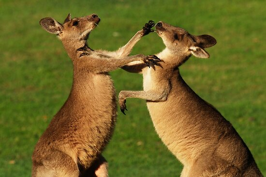 Kangaroo Fight Club by tinagphotos