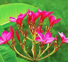 Plumeria Flowers by Beatriz  Cruz