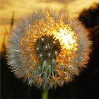 Golden Dandelion Clock by Margaret Brown