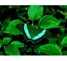 Hiding --- Emerald Swallowtail Photographic Print