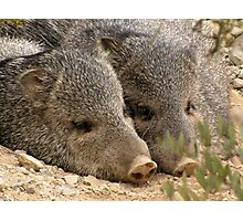 Happy as two Pigs in....... Photographic Print
